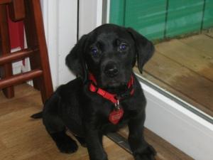 Baby Trego, a 10-pound black lab.
